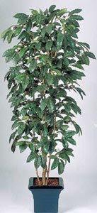 Кофейное дерево как домашнее растение