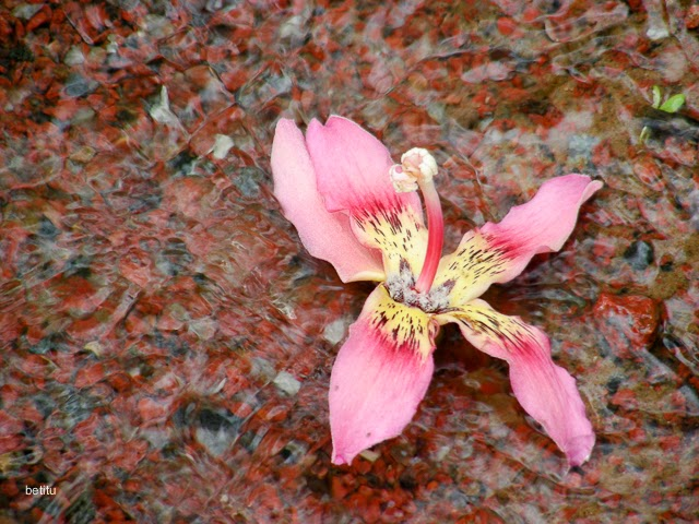 Flor de Palo borracho (Ceiba Speciosa) by betitu