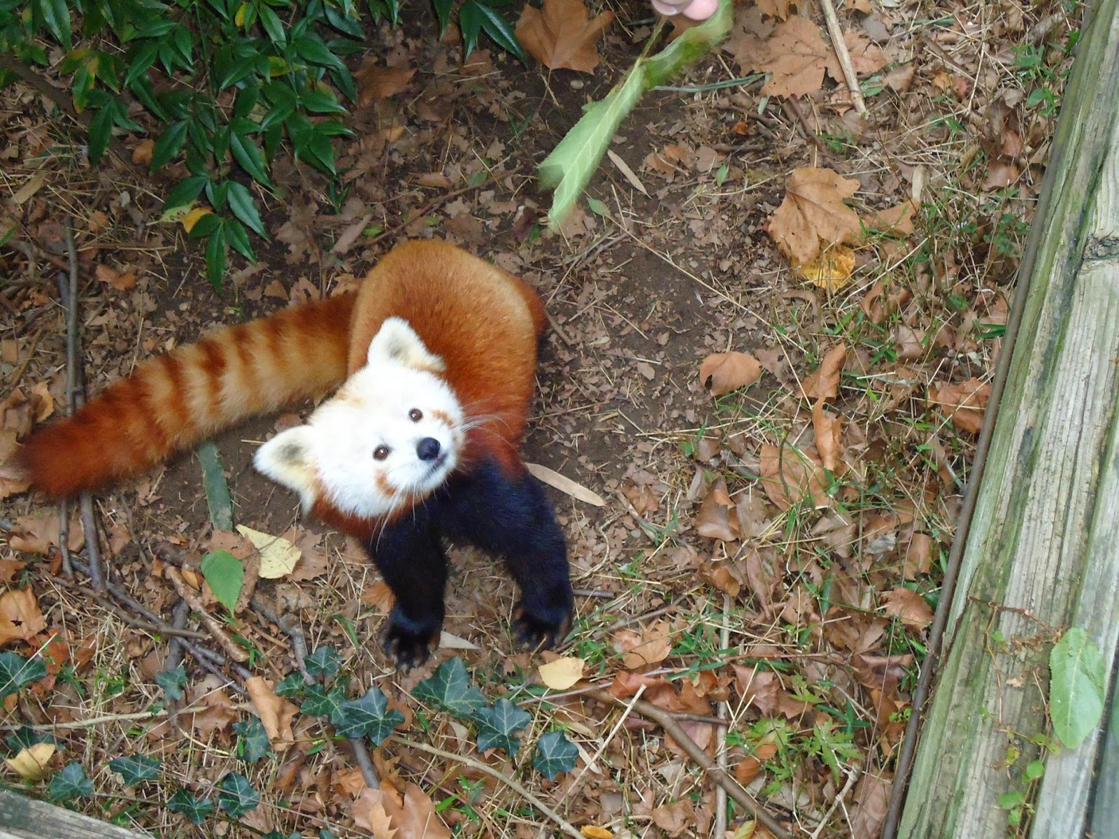 40 Adorable red panda pictures (40 pics), fluffy red panda at the zoo