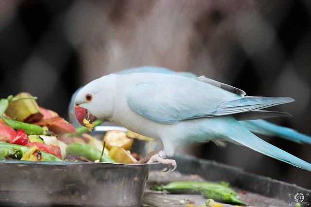 Blue RingNeck Parrot, Shashank Mittal Photography, Shashank Mittal, Photography, Shashank, Mittal, Photography