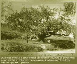 El histórico castañero de El Madroñal.