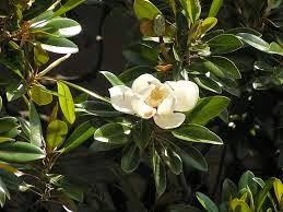 magnolia grandiflora Ανθος