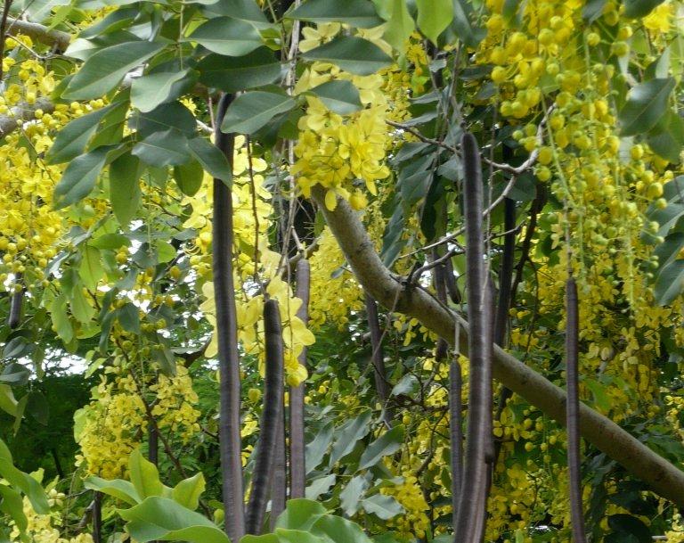 Amaltas - Cassia fistula Linn