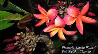 Plumeria 'Kauka Wilder'