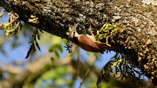 Narrow-billed Woodcreeper Lepidocolaptes angustirostris Arapaçu-de-cerrado Trepatroncos Chico
