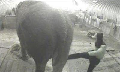 dera gajah