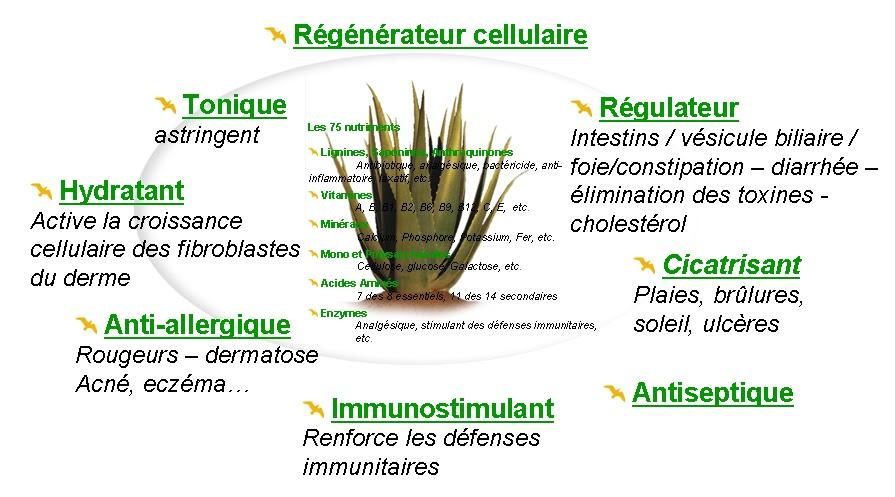 Aloe vera la plantes for Les plantes et le gel