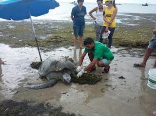Tartaruga verde encalha na praia de Jatiúca, em Maceió