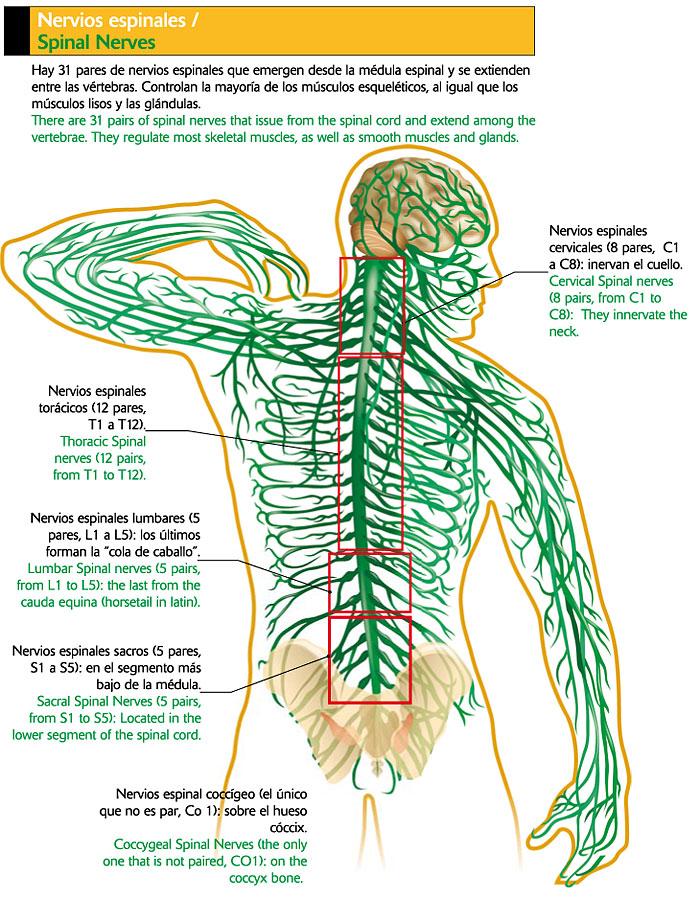 Bonito Diagrama De Nervios Espalda Componente - Imágenes de Anatomía ...
