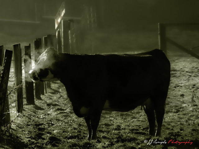 Cow in Morning Mist Sees her breath