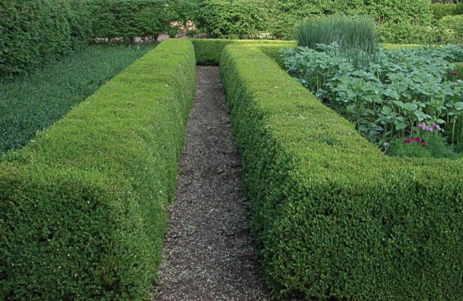 F?nix Plantas e Jardins: Buxus - Planta de sol pleno, pra ...