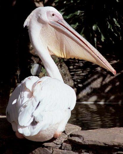 Foto del Pelícano blanco sentado