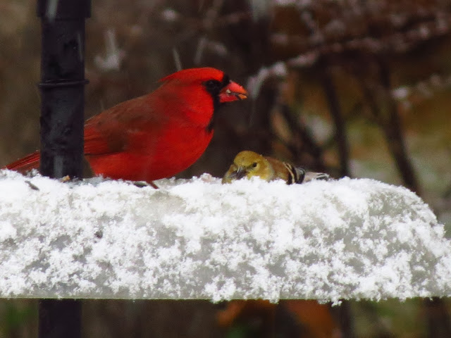 cardinal and goldfinch on icy tray