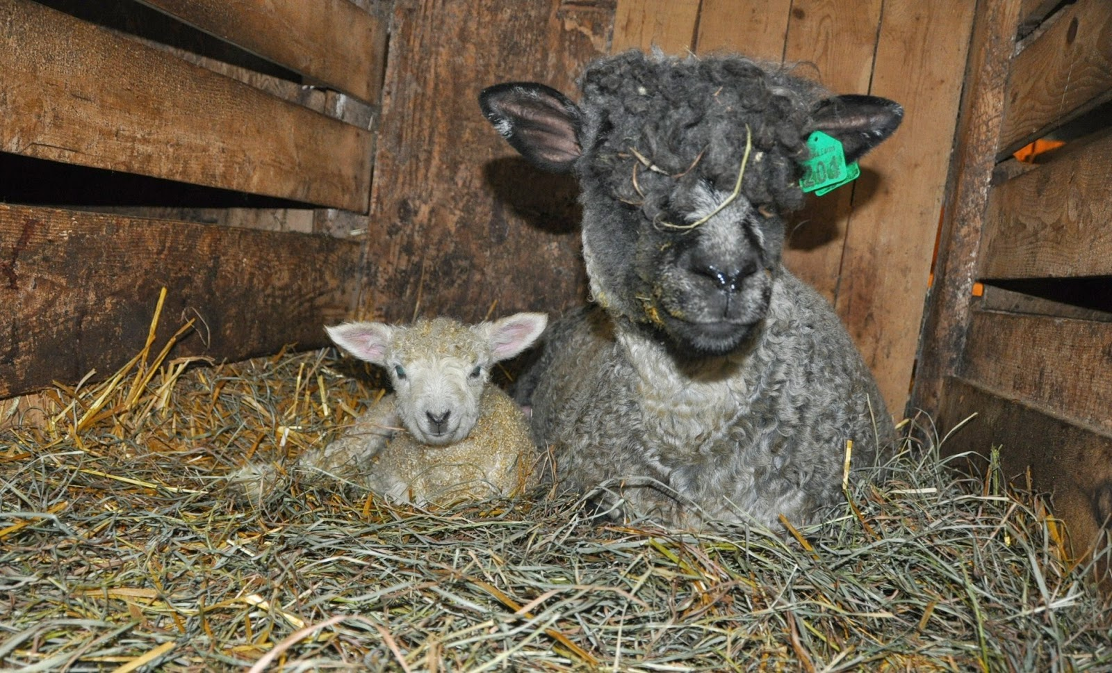 knee deep in sheep lamb pictures because lambs