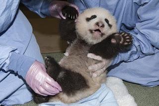 Cute Panda, San Diego Zoo, cub