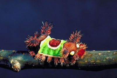 The SaddlebackCaterpillar