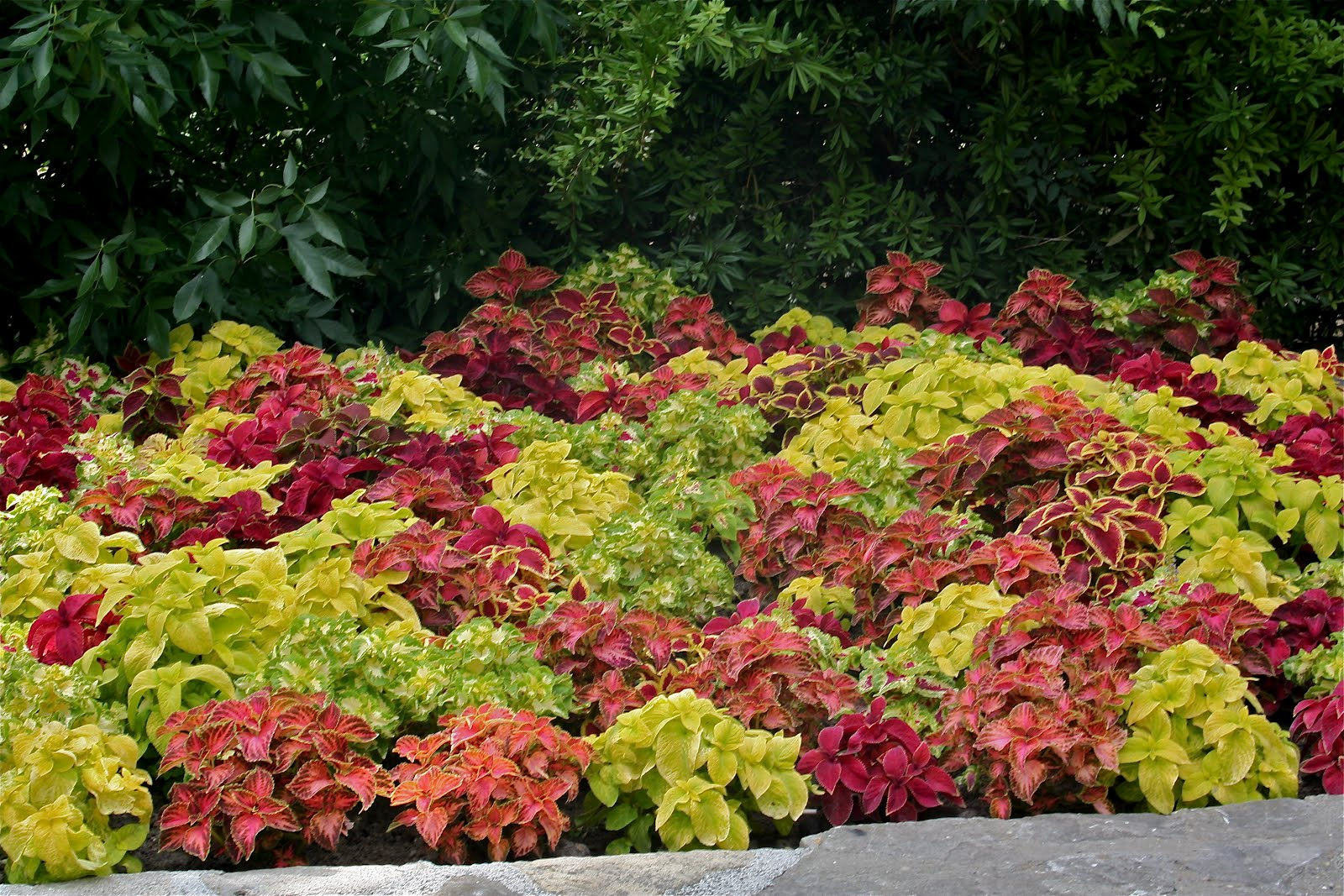 Coleus In Gold, Orange And Chartreuse Shades.