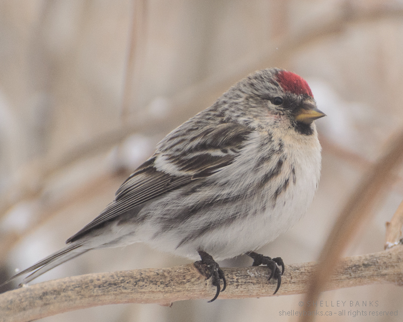 Female common redpoll photo shelley banks all rights reserved