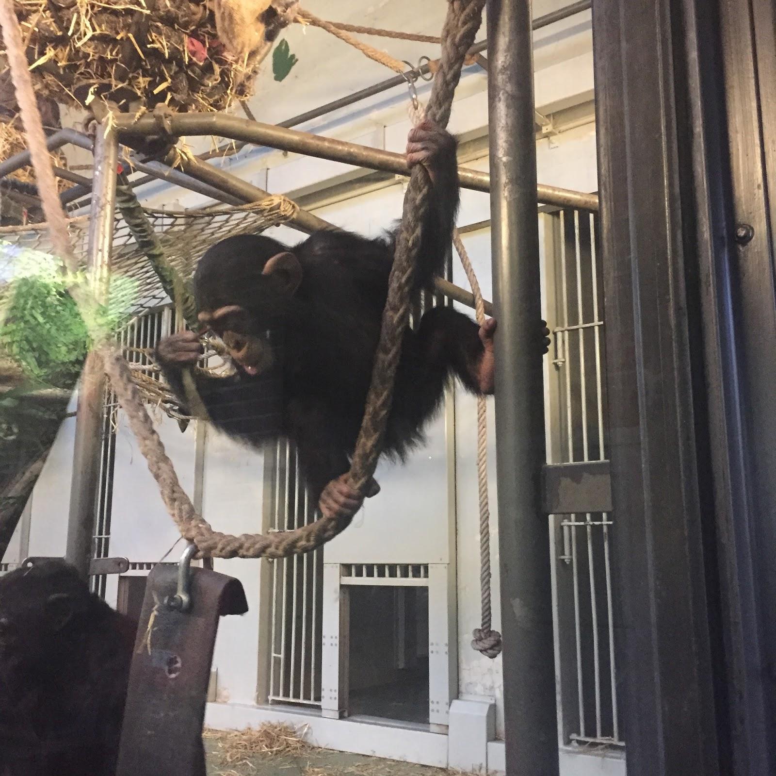 Baby Chimpanzee, Artis Zoo Amsterdam