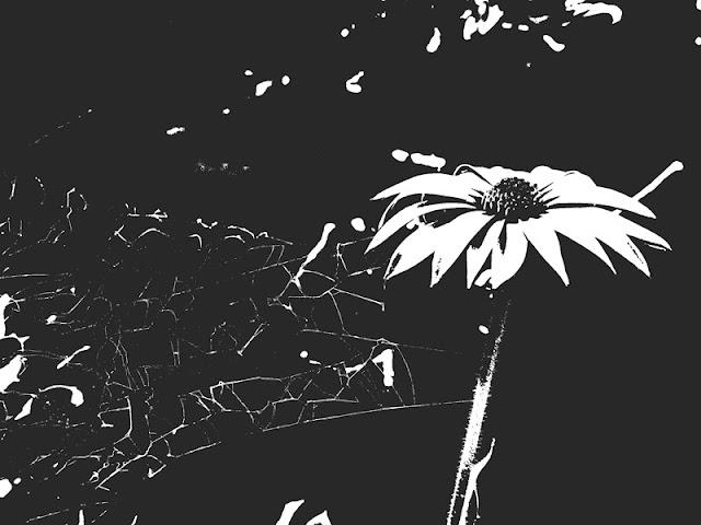 monochrome-daisy-