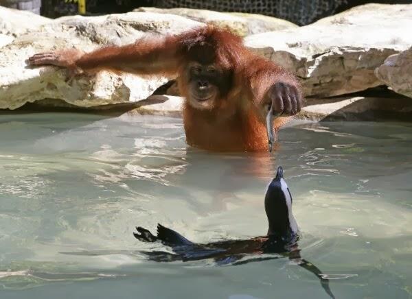 Funny animals of the week - 14 February 2014 (40 pics), orangutan feeds penguin with fish
