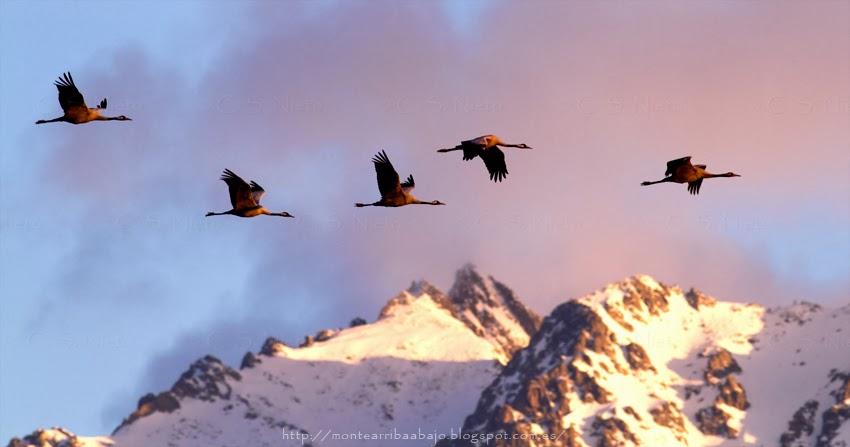 Grullas volando con el pico Almanzor de Gredos de fondo