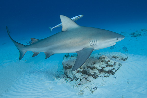 Images Of Sharks All About Anima...