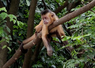 Macaco-prego-Parque Areião