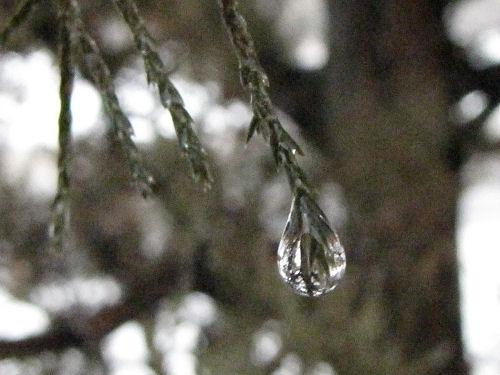 raindrops on cedar