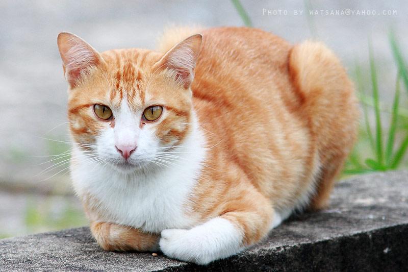 แมว ไทย จะ เห็น ได้ จาก แมว