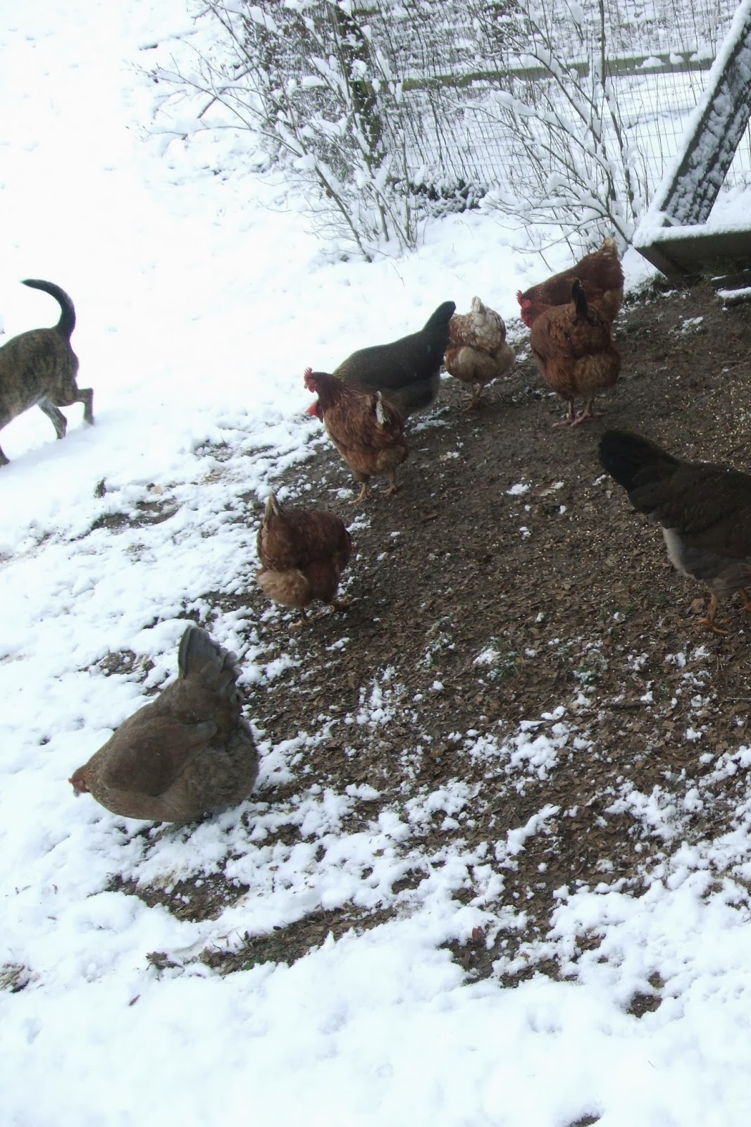 pam u0027s backyard chickens november 2015