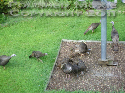 Picture of ten wild turkeys
