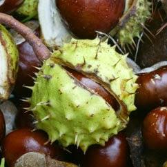 horse chestnut seed terdapat dalam herbal blend shaklee