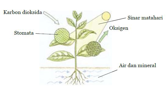 skema+fotosintesis.png