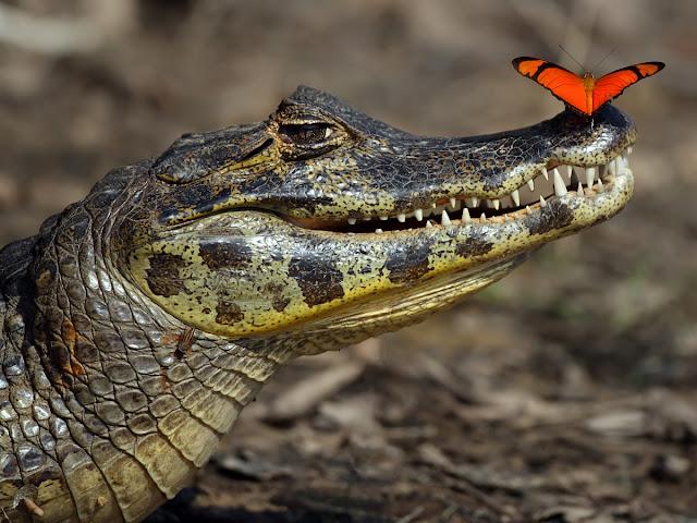 Sommerfugl på snuden af braziliansk kaiman alligator