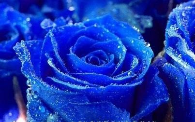 rosas hermosas azules en movimiento entre estrellas y luces  - Imagenes Rosas Azules Brillantes