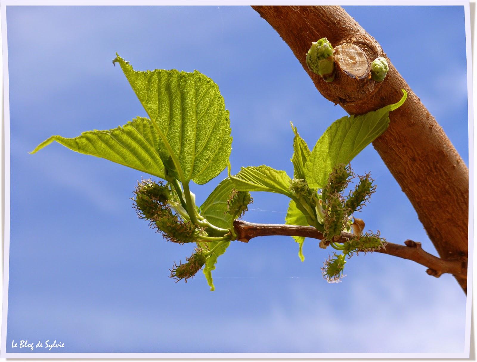 Le blog de sylvie bourgeons feuilles et fruits - Fruit du murier platane ...