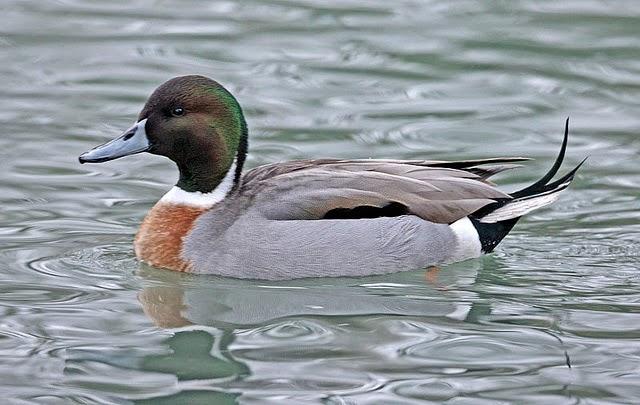 Hybrid Duck Study: WHY...