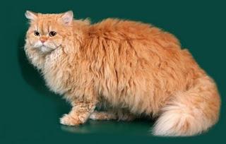 selkirk rex cat kitten pussy mace macka kat kass katze gato con kissa pets Haustiere huisdieren animaux de compagnie kucni ljubimci augintiniai