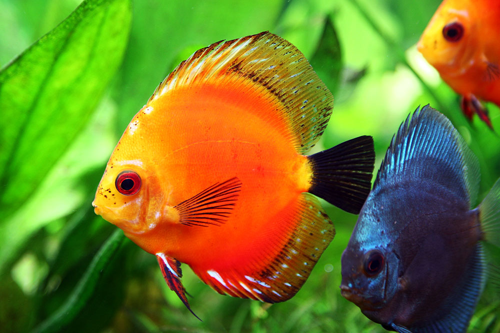 life under the sea discus fish