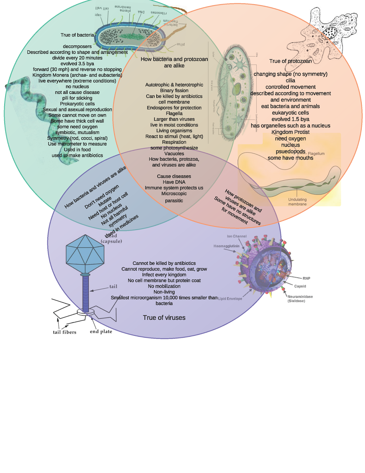 Protists viruses and bacteria venn diagram complete wiring diagrams 46 venn diagram virus vs bacteria venn bacteria virus diagram vs rh venndiagram 0 blogspot com ccuart Image collections