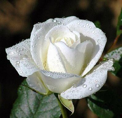 The meanning of white roses