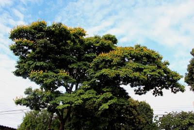 Sibipiruna nas suas cores verde-amarelo.