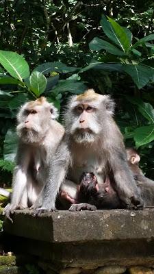 Monos en el Monkey Forest de Ubud