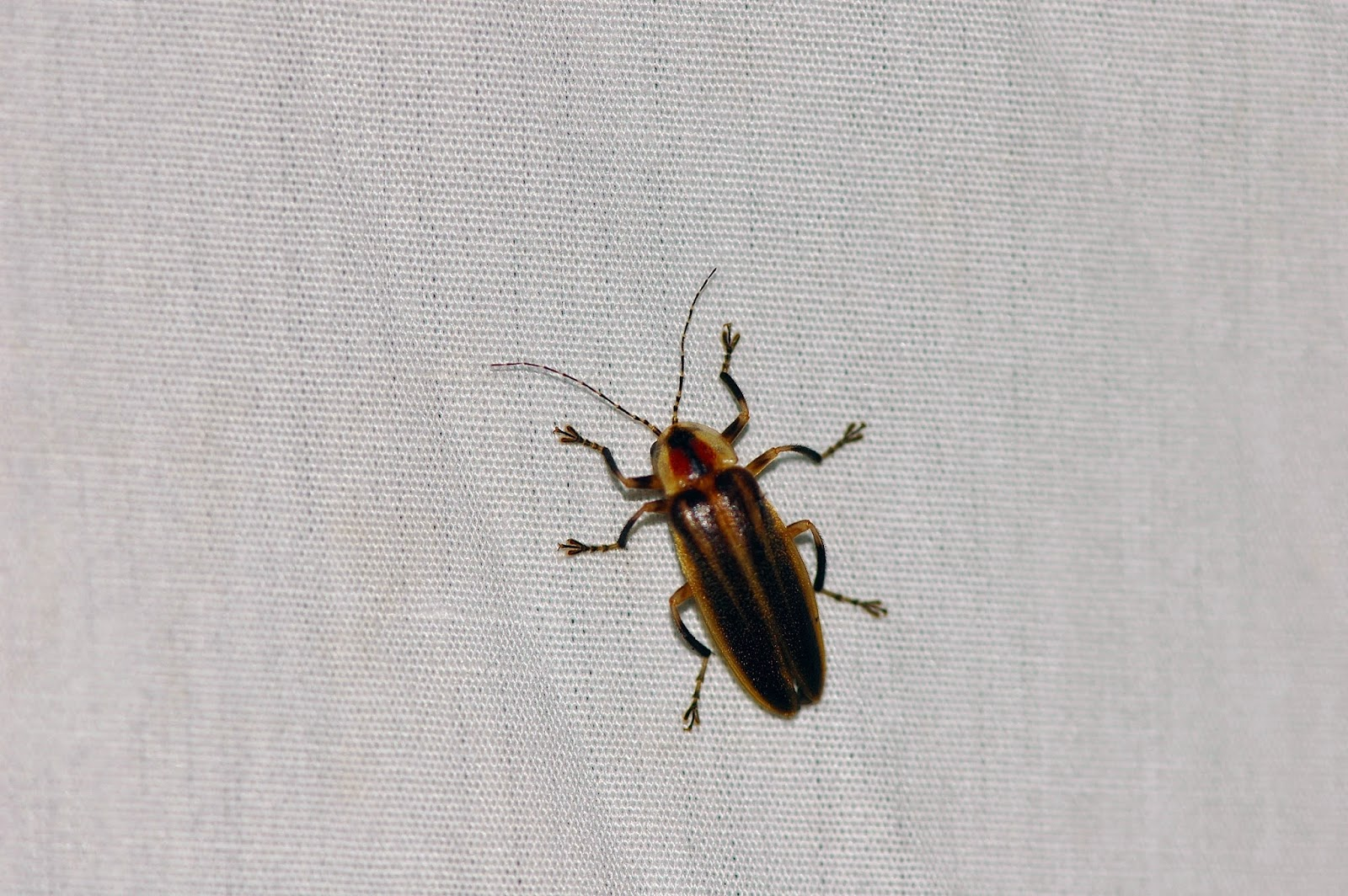 A Lightning bug or Firefly of the genus Photuris This group of Fireflies  are larger than. Dark Brown Bug With Light Brown Stripe   makitaservicioguatemala com