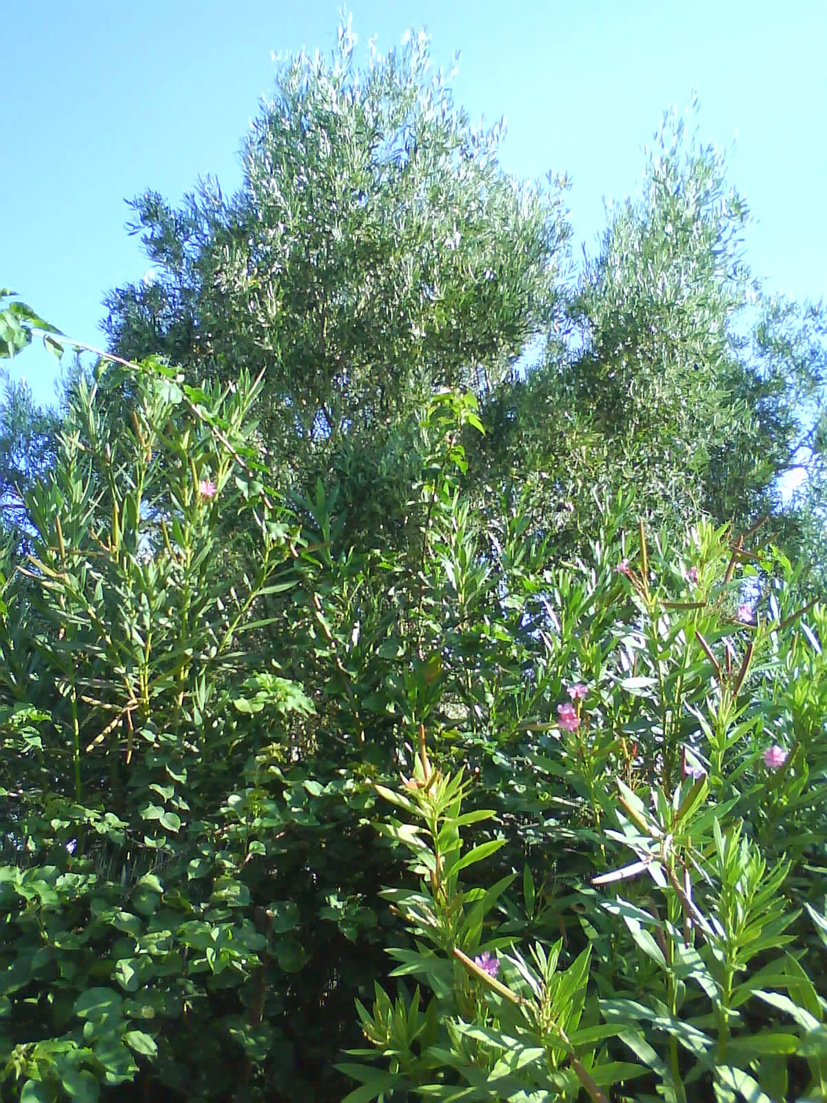 Olive and oleander