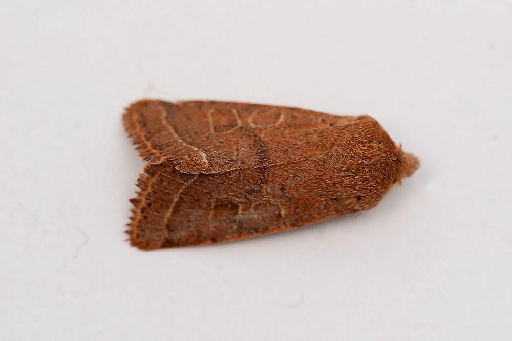 Common Quaker - Moth, Milton Keynes
