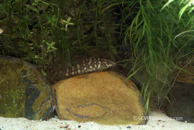 Loach (Botia Kubotai) resting
