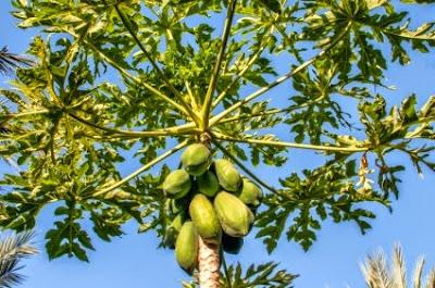 Γενετικά μεταλλαγμένα δέντρα