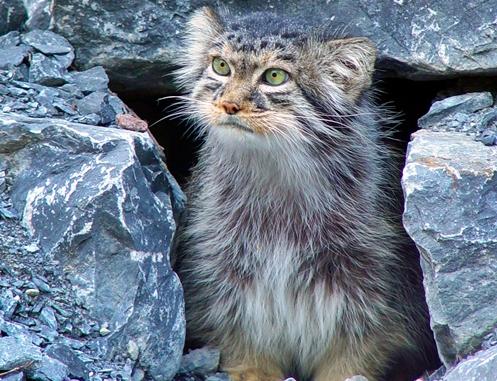 Gato-de-pallas é um pequeno gato selvagem da Ásia Central